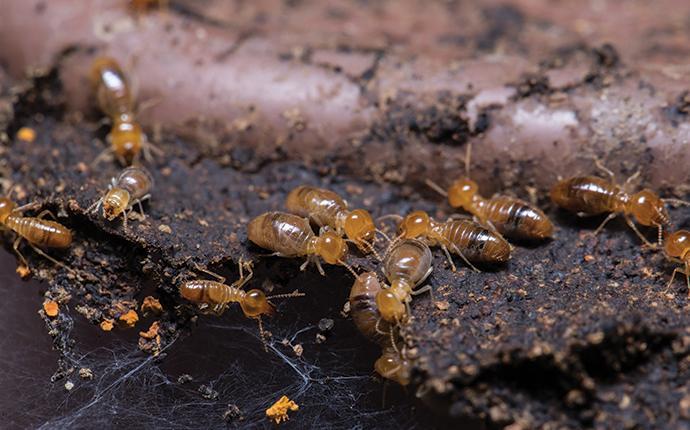 many termites eating wood