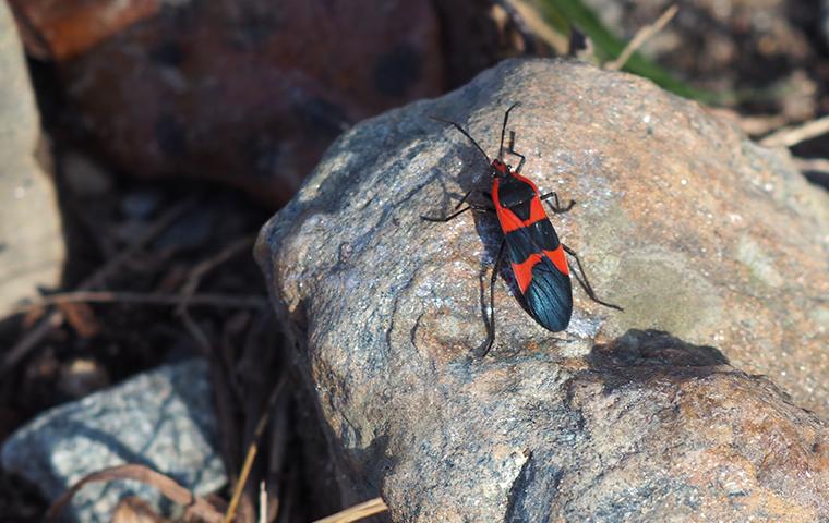 a box elder bug on a rock