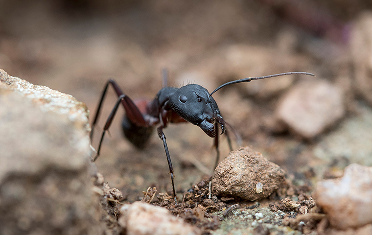 carpenter ant outside an house