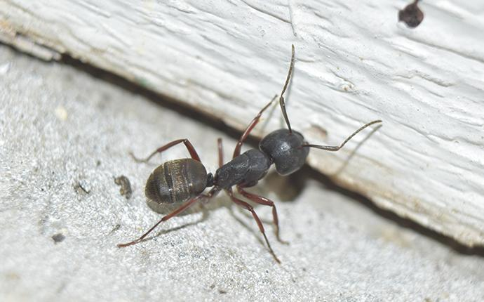 carpenter ant in home