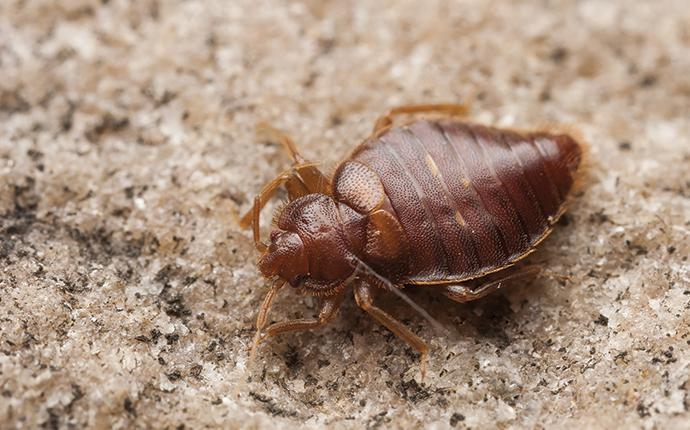 a bed bug up close in cayce south carolina