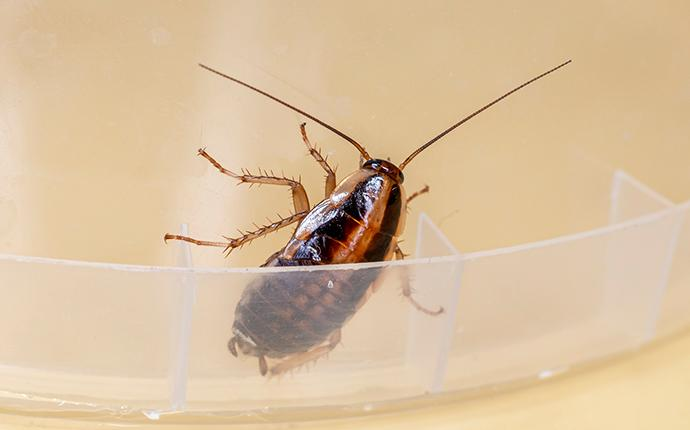 german cockroach in a plastic dish