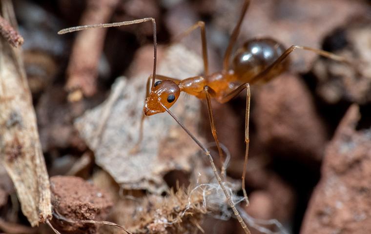 a crazy ant up close