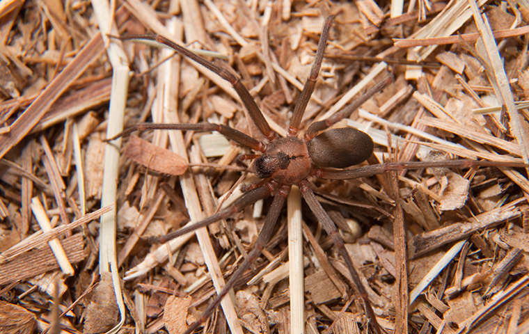 brown recluse spider in dry grass