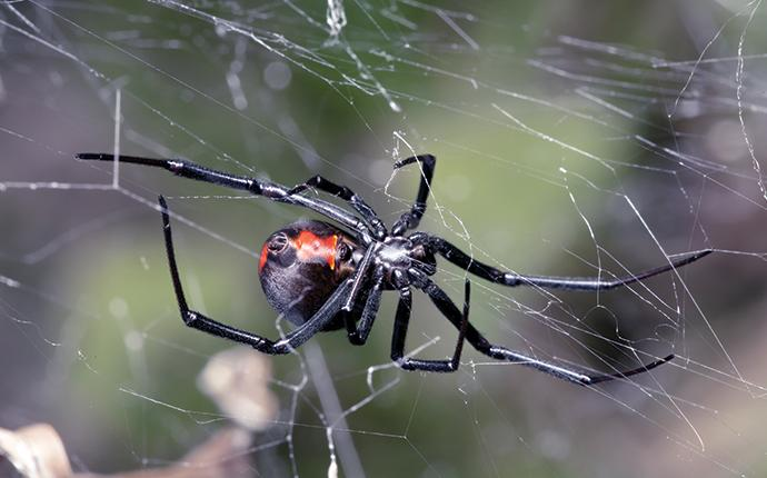 a black widow on its web in denmark south carolina