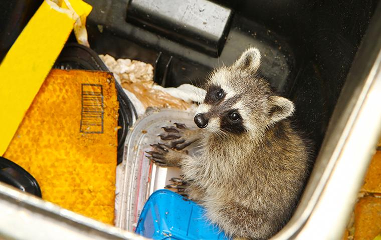 a raccoon in a trash can