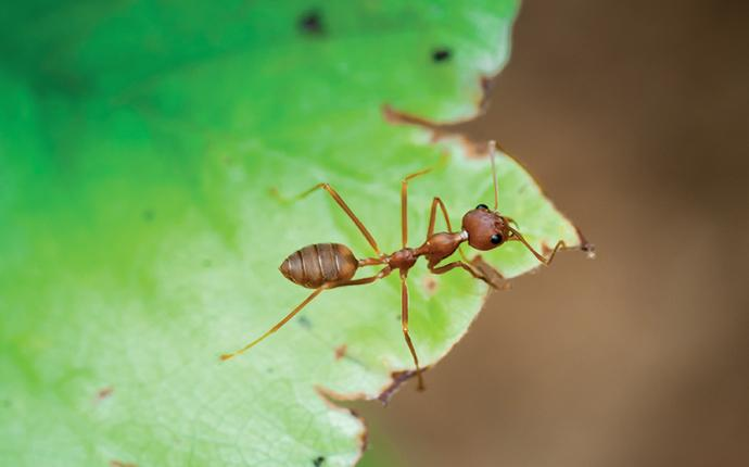 a fire ant on a leaf in ehrhardt south carolina