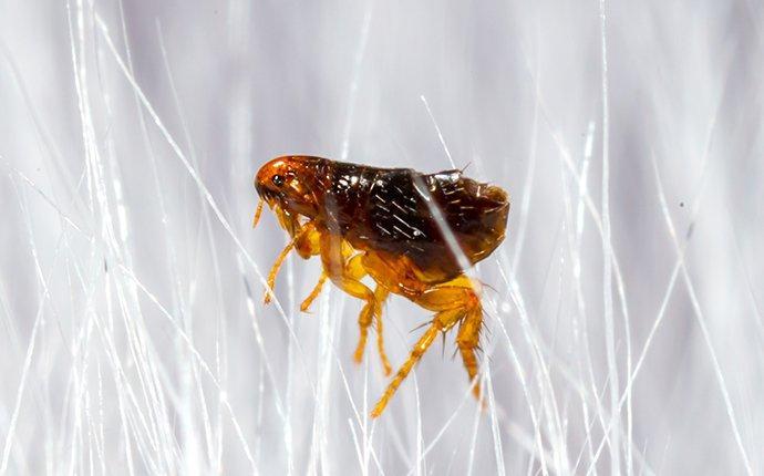 flea on human hair