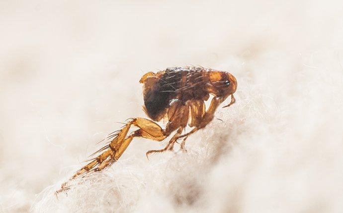 flea on white carpet
