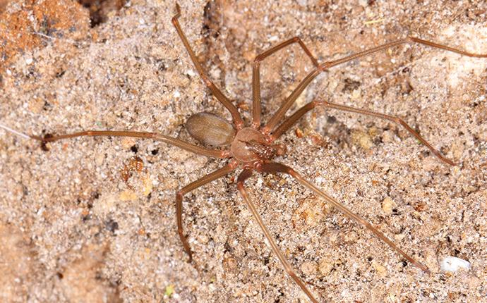 a brown recluse outside a house in gilbert sc