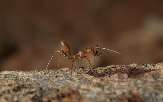 a fire ant on a log up close
