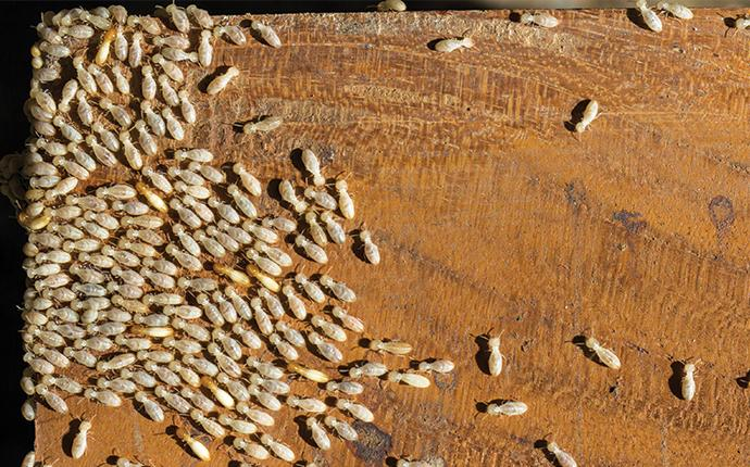 termites swarmed on a piece of wood