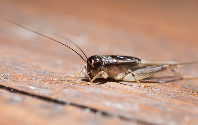 a house cricket up close