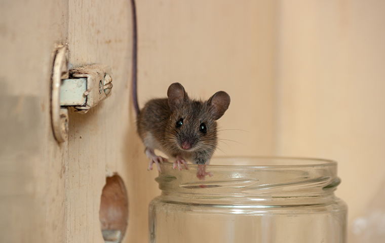 a house mouse walking on the mouth of a jar