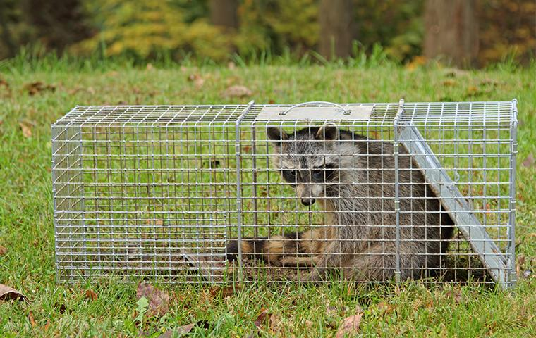 a raccoon in a live trap