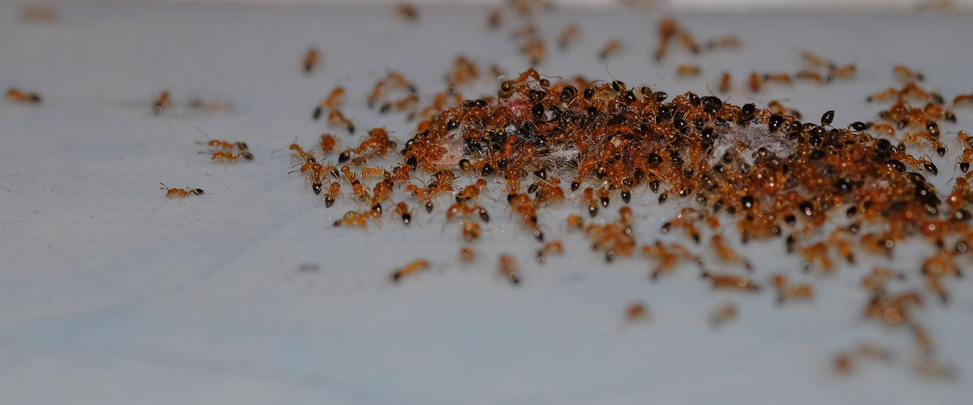 many argentine ants on a bathroom floor