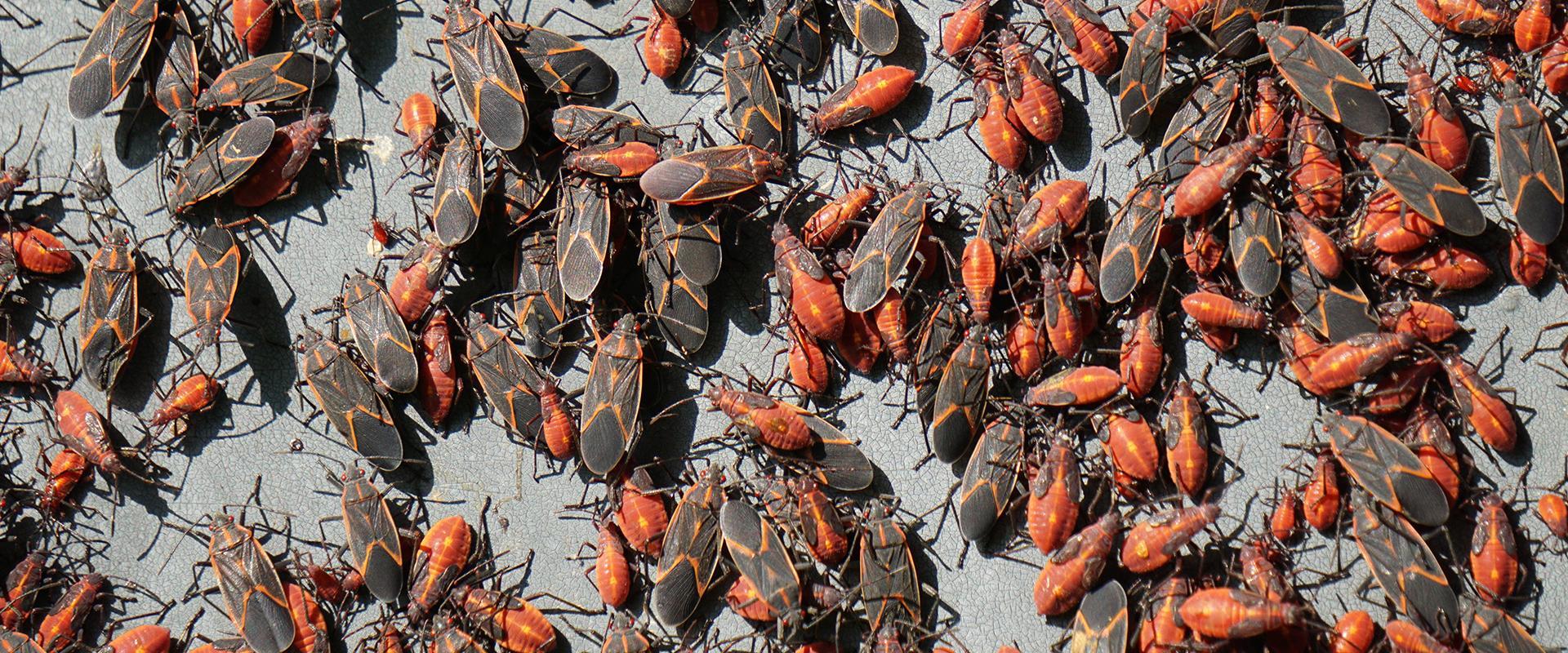 many box elder bugs