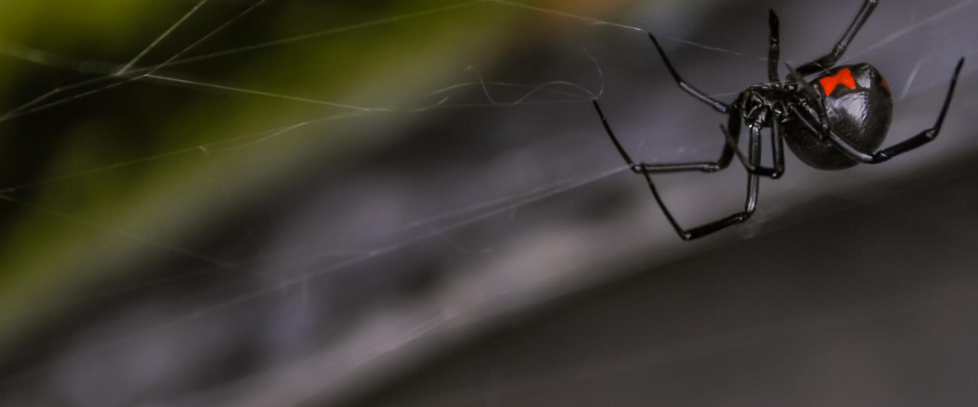 a black widow spider hanging in its web