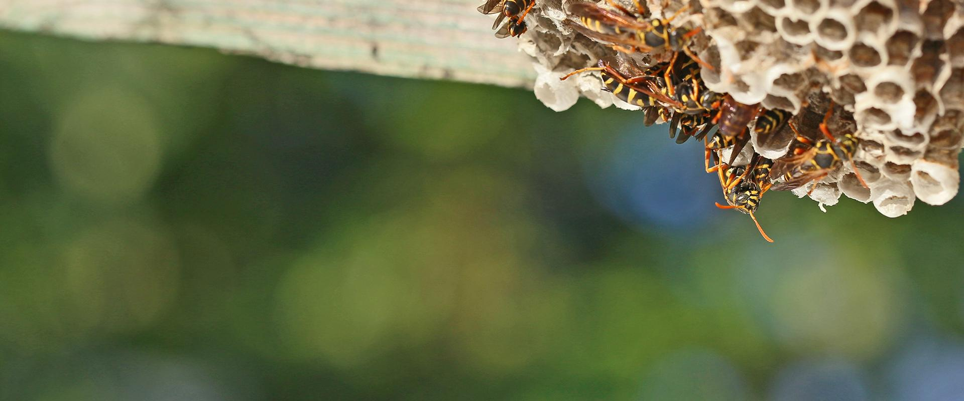 paper wasps on and around their nest