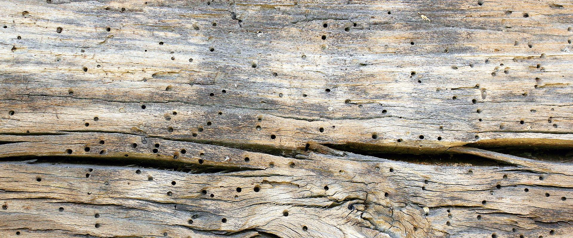 holes in wood from a powder post beetle