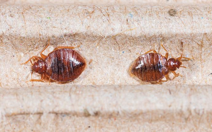 two bed bugs on a mattress