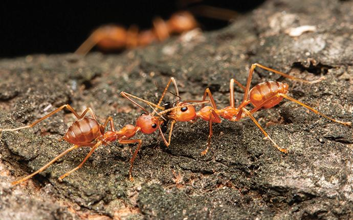 fire ants fighting on a log