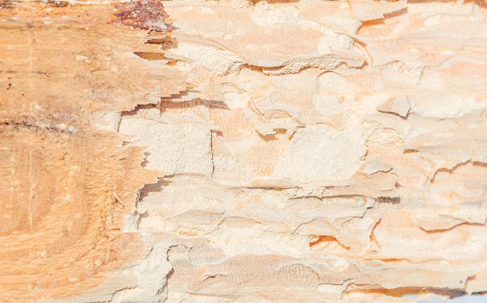 powder post beetle damaged wood