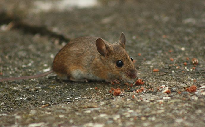 a house mouse eating crumbs