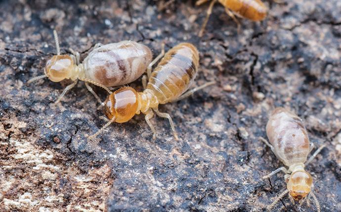 termites in modoc sc