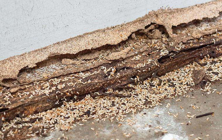 termites attracted to the moisture in a house