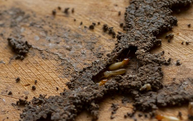 termites seen around a house