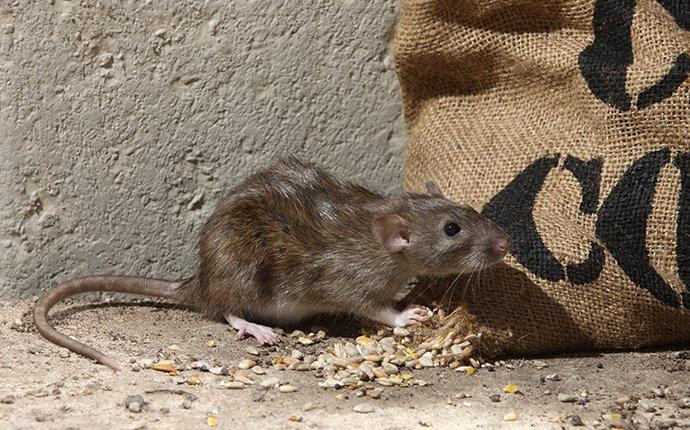 norway rat eating grains in a basement