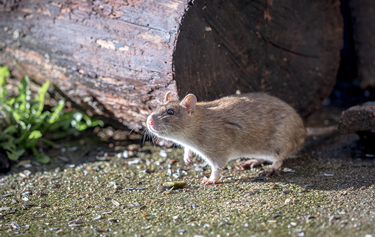 a norway rat in south carolina