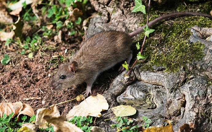 a norway rat near a rock