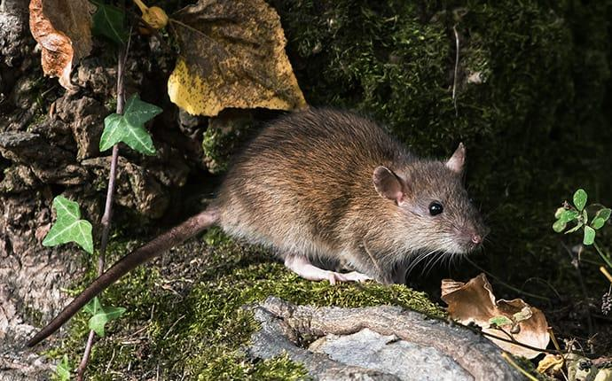 norway rat outside a home