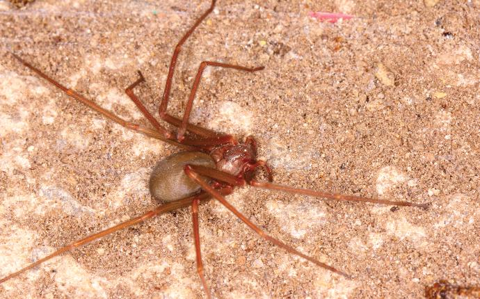 a dangerous brown recluse spider