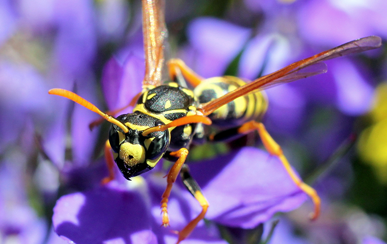 a paper wasp up close on a purple flower