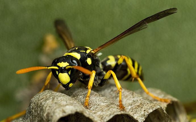 a paper wasp on its nest