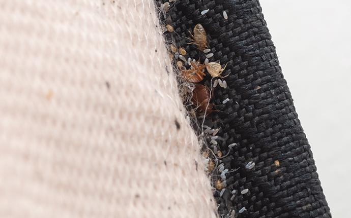 nasty  bed bugs on a mattress edge