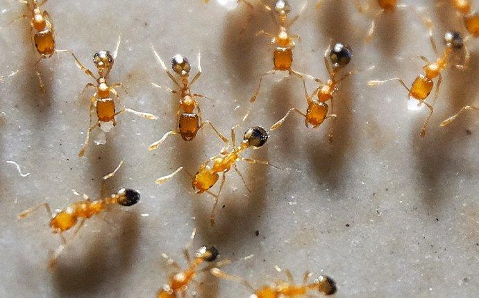 pharoah ants on floor