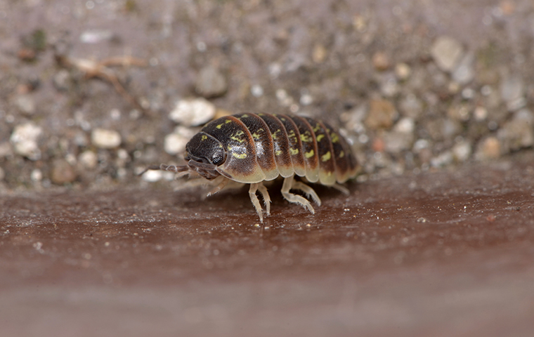 a pill bug outside a house in south carolina