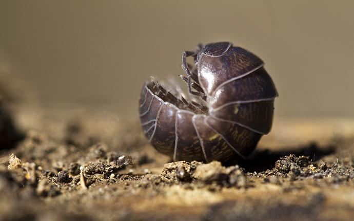 a pill bug rolled up on its back