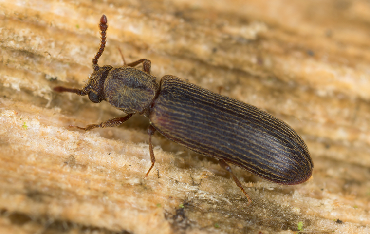 a powder post beetle up close