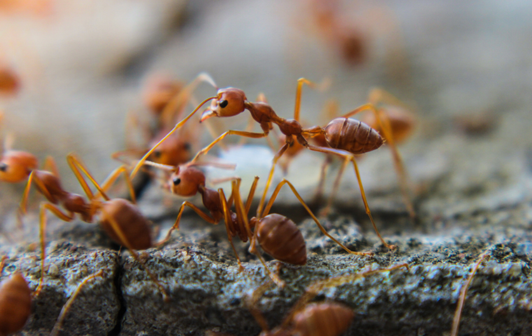 red imported fire ants up close in south carolina