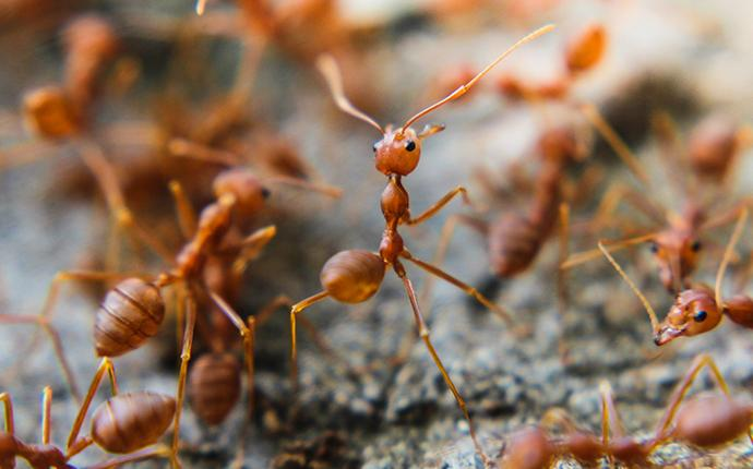 a large group of red imported fire ants