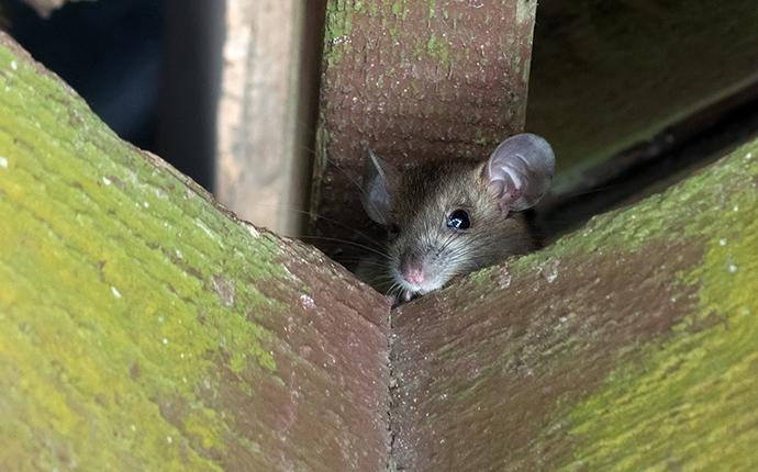 a little roof rat in the eaves