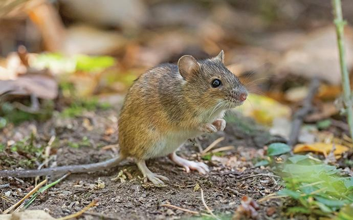 a house mouse outside a salley sc home