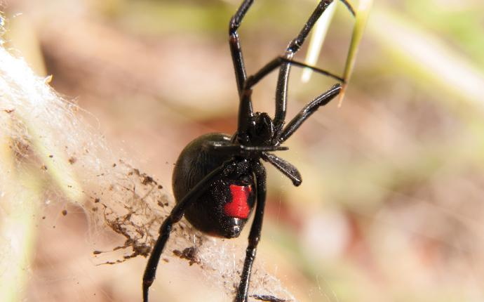 a dangerous black widow spider outside a home