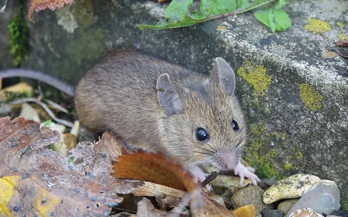 house mouse next to porch step