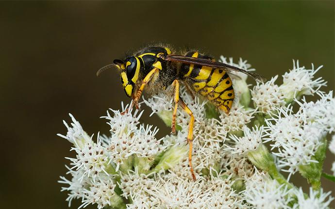 a yellow jacket on a clump of white flowers